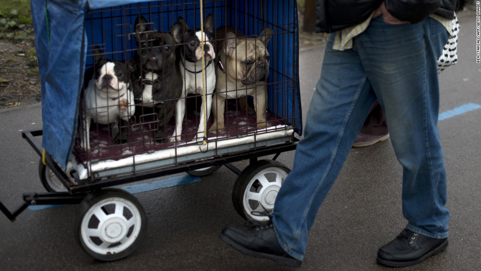 Three Boston terriers and a French bulldog arrive on March 8, the second day of Crufts.