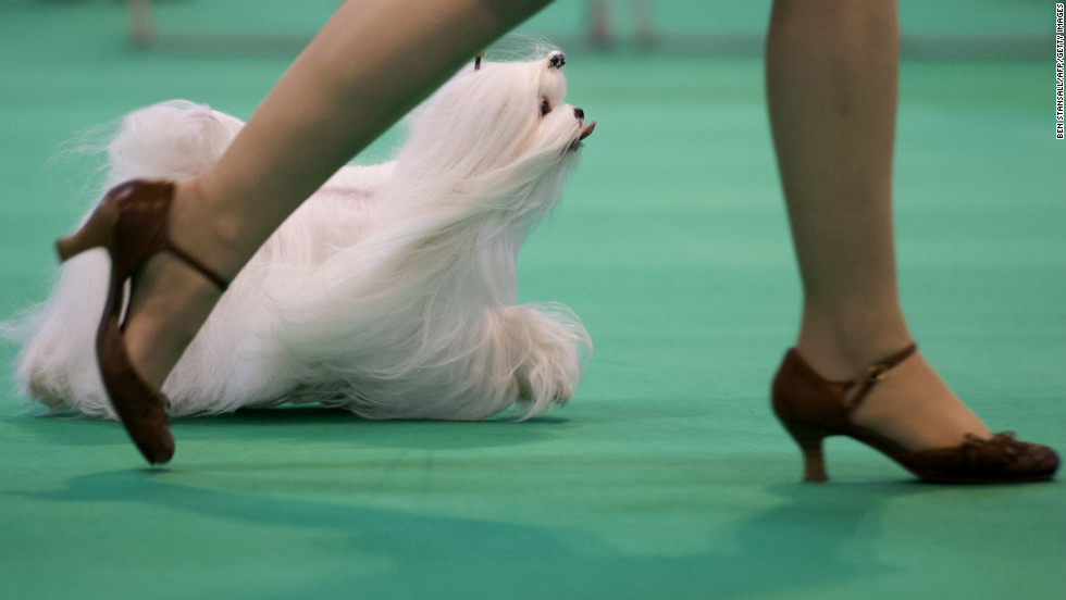 A woman parades her Maltese for the judges on March 8.