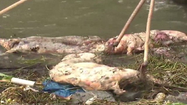 Dead pigs found floating in a river