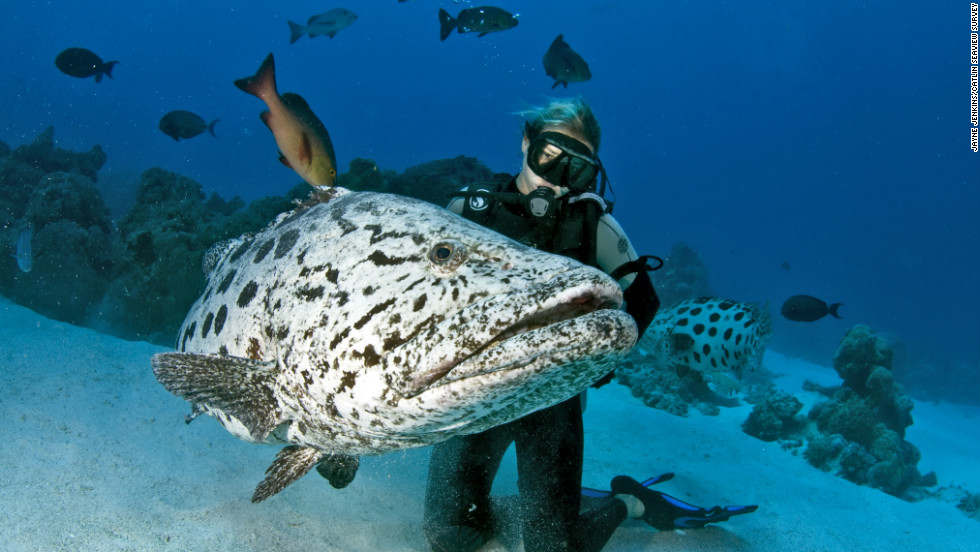 A researcher studies a large potato cod in Cod Hole, a small area of the Great Barrier Reef famous for its rich population of the fish.
