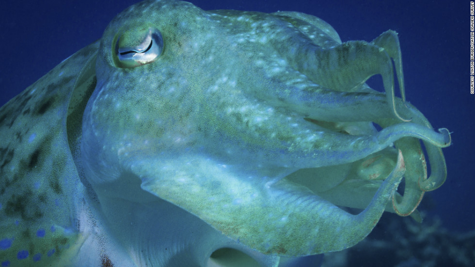 It may be called a cuttlefish but in fact it's a mollusk. This eight-armed creature forms part of a complex web of life in the Great Barrier Reef.