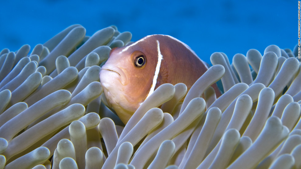 A pink anemonefish hides away in the Ribbon Reef.