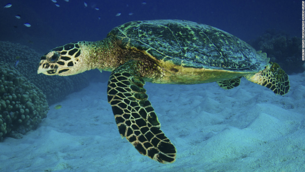 The hawksbill sea turtle is a critically endangered species of turtle. Here one swims through the Great Barrier's Agincourt Reef.