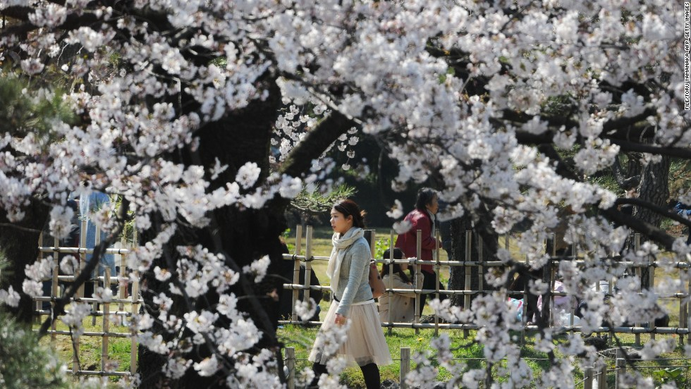 Japan takes cherry blossom blooming very seriously. National news services publish maps and weather reports relevant to prime flower hotspots.