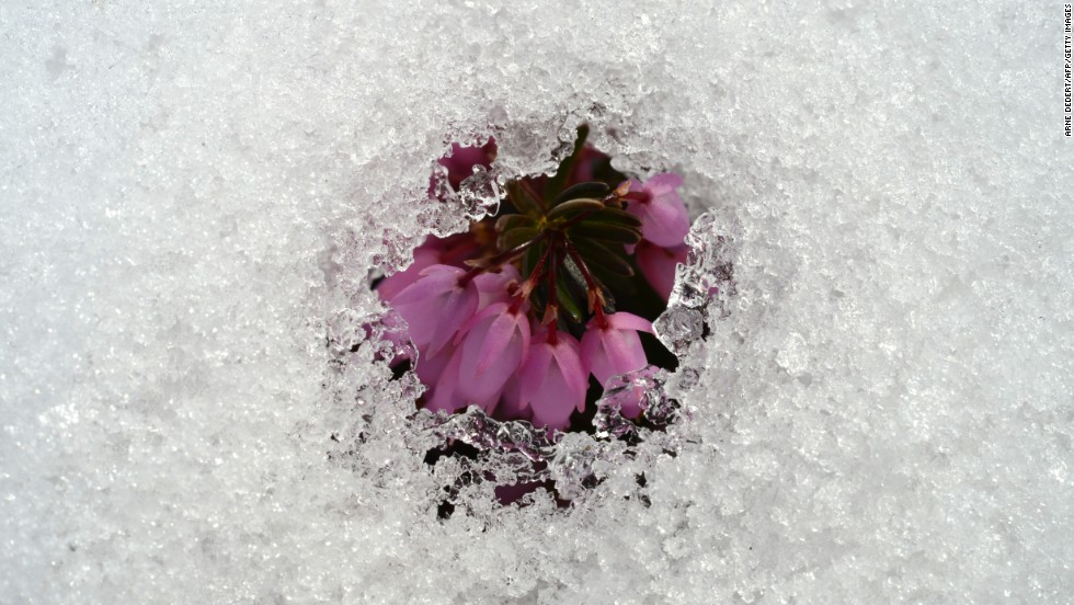 An early flower is seen through a blanket of melting snow at the Palmengarten botanical gardens in Frankfurt, Germany, on Thursday, March 14.