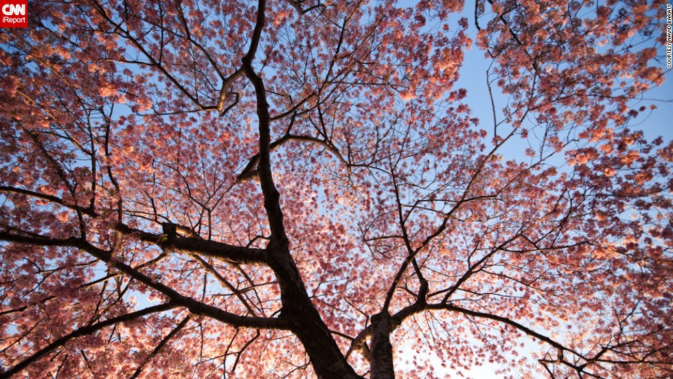 "The start of spring transforms the National Mall into a sea of pink. iReporter Navid Baraty saw Washington's cherry blossoms for the first time last year. ""I really wasn't expecting it to be quite as stunning as it was,"" he said."