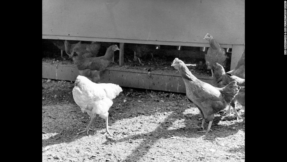 Mike hangs out with fellow chickens in his Colorado barnyard in 1945.