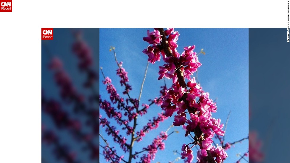 """Blossoming buds herald the start of spring. <a href=""""http://ireport.cnn.com/docs/DOC-945103"""">Carlos Alvarez-Zarikian</a> captured a flowering redbud tree in Texas on the first day of spring."""