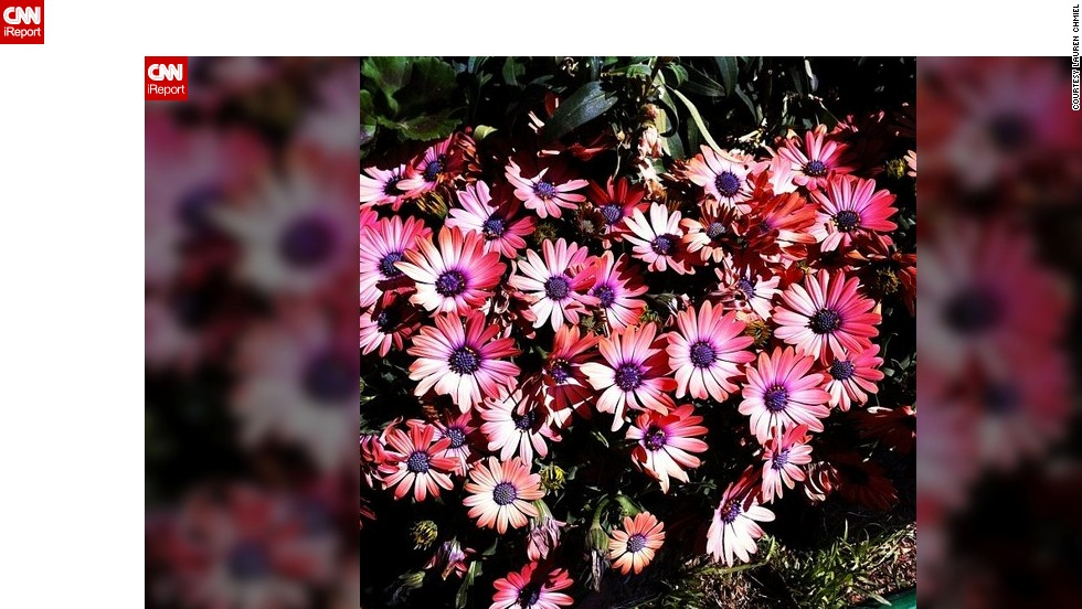 """<a href=""""http://ireport.cnn.com/docs/DOC-945108"""">Lauren Chmiel</a> from Las Vegas doesn't have to go far to enjoy the sight of blooming flowers. She captured these pink daisies in her backyard."""