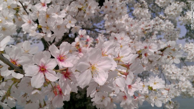 Spring arrives with cherry blossoms