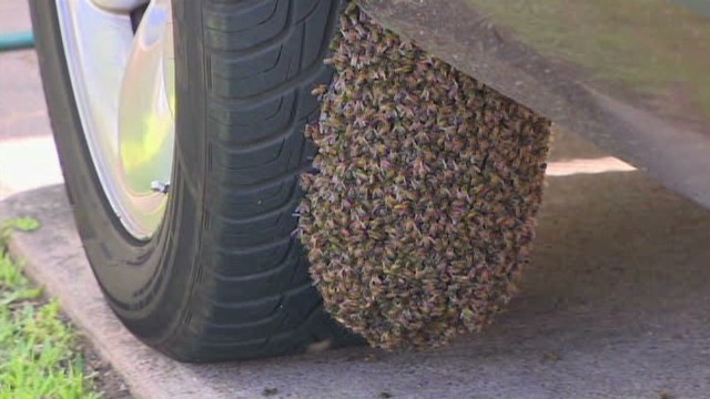 pkg womans truck swarmed by bees_00001221.jpg
