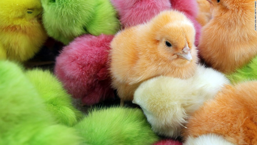 "Chicks have long been part of Easter celebrations in many parts of the world. In Lebanon, where the chicks pictured here were found, people traditionally buy <a href=""http://www.mnn.com/earth-matters/animals/stories/dyed-easter-chicks-create-controversy"" target=""_blank"">colored chicks, dyed with food coloring while they are still in their eggs</a>. Many animal rights activists frown on the coloring, as well as buying chicks as pets for Easter. <a href=""http://www.marthastewart.com/924409/bunnies-ducklings-and-chicks-easter-time"" target=""_blank"">Chickens can make fantastic pets, but chicks are difficult to raise.</a>"