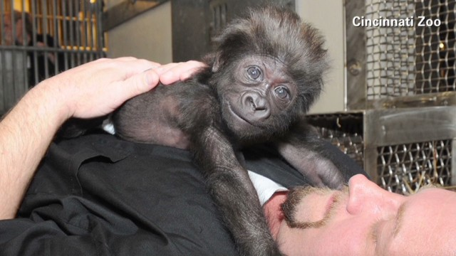 nr weekend blackwell baby gorilla raised by humans_00021021.jpg