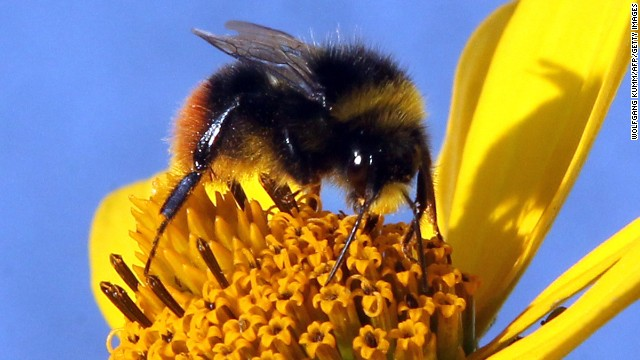 How pesticides are killing the bees