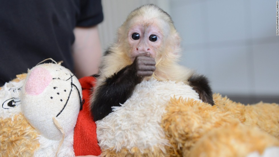 "Bieber lost his pet monkey, Mally, when the capuchin <a href=""http://www.cnn.com/2013/08/01/world/europe/germany-bieber-monkey/index.html?iref=allsearch"" target=""_blank"">was taken by custom officials in Germany</a> at the end of March 2013. Mally is shown here in the quarantine station at the Munich-Riem animal shelter in Munich."