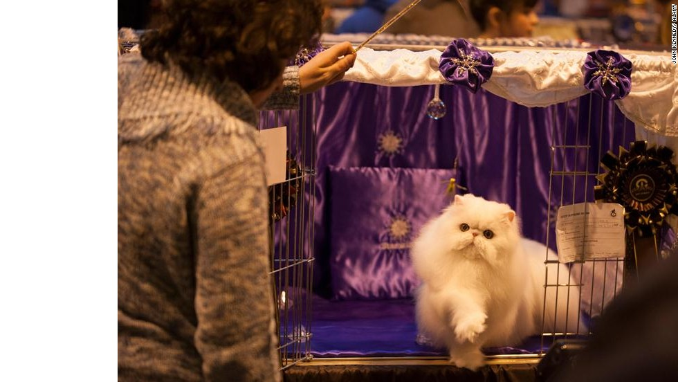 The United Kingdom's largest and most prestigious cat show is held each November near Birmingham.