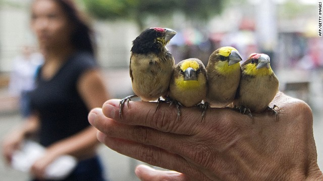 A man shows exotic birds for sale in the streets of Medellin, Antioquia department, Colombia, on April 6, 2013.