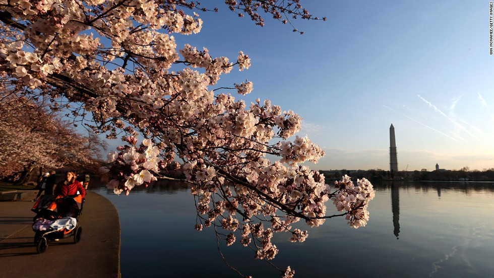Cherry blossoms bloom on the edge of the Tidal Basin in Washington on Monday, April 8.