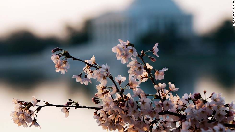 Washington's celebrated cherry trees were a gift from the people of Japan in 1912.