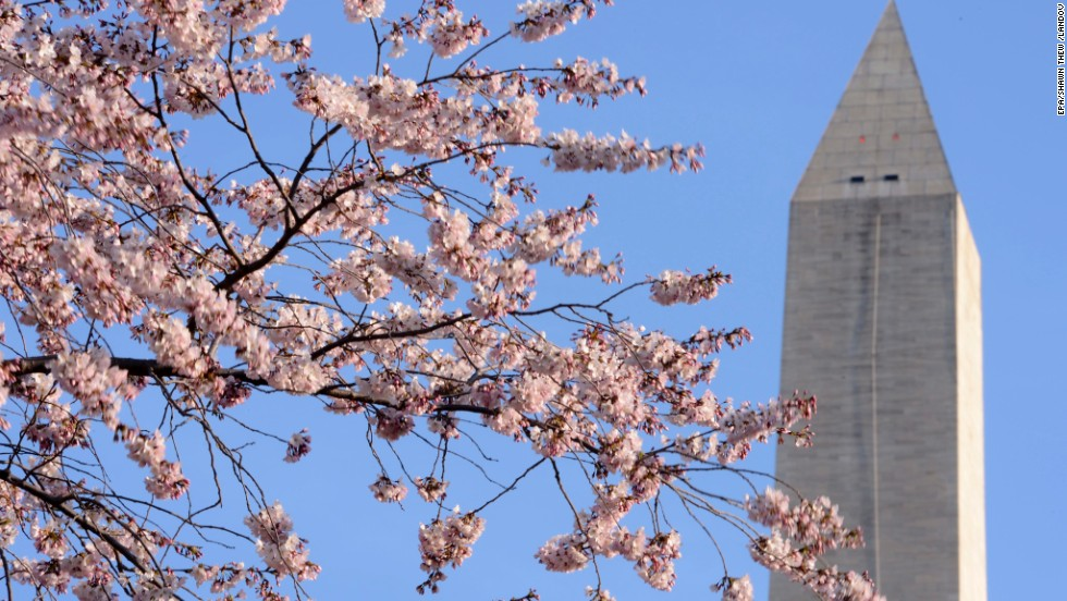 Many of the trees from the 1965 gift were planted on the grounds of the Washington Monument, seen here on Sunday, April 7.