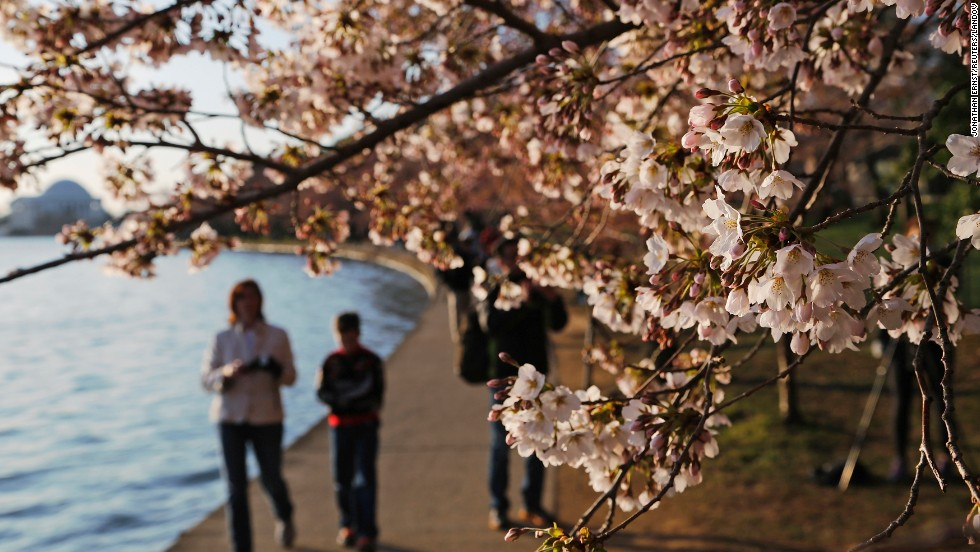 People check out the cherry blossoms along the Tidal Basin on April 7.