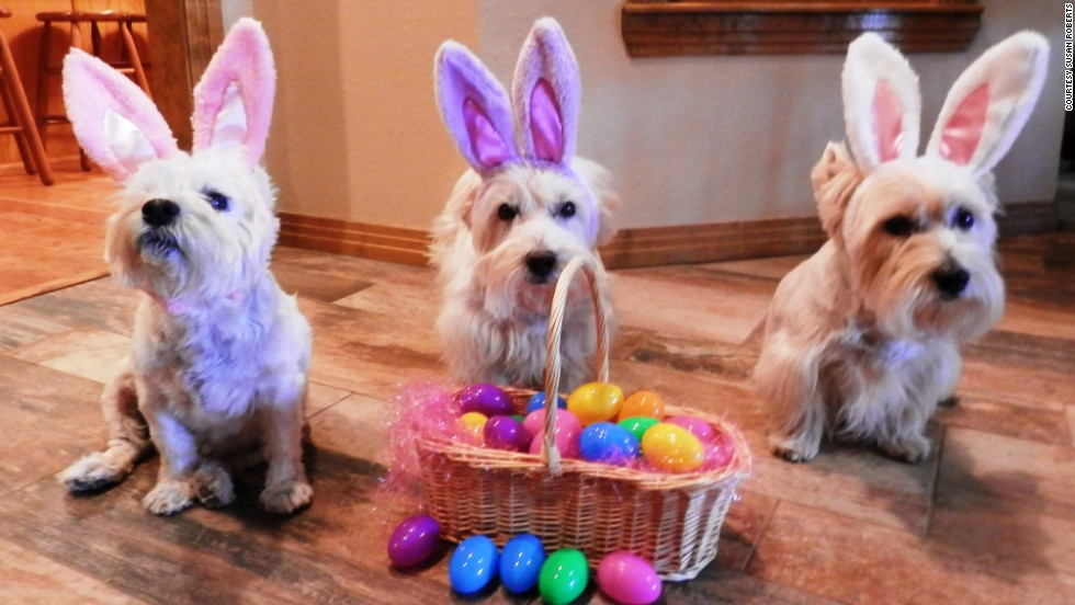 "Susan Roberts of Levelland, Texas, has three ""fur babies"" -- West Highland terriers Bogart, Spencer and Holly. They have their own ""Christmas Westie"" tree and costumes for every holiday."