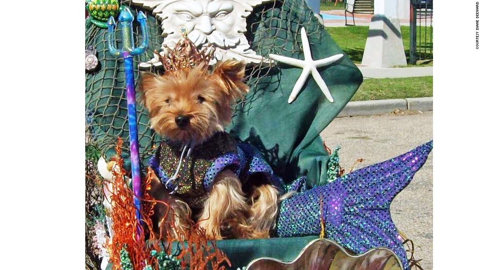 "Meet Nickie, also known as King Neptune. Diane Deeward of Michigan went all out for the Mardi Paws parade in Mandeville, Louisiana, in March for her dogs, Nickie and Melody. The parade's theme was ""Doggone Wet."""
