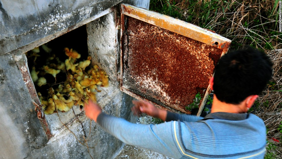 A man throws ducklings into a stove at a duck farm in Zhangzhou in China's Fujian province on Sunday, April 14. The farm has had to kill more than 400,000 newborn ducks every week after the H7N9 bird flu affected the domestic poultry market.
