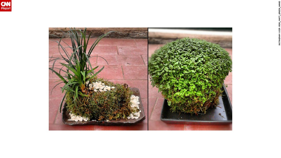 In many kokedama, plants' roots are encased in moss.
