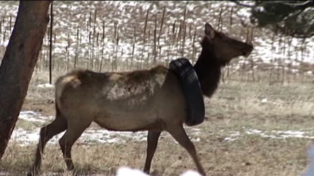 pkg elk with tire on neck_00003325.jpg