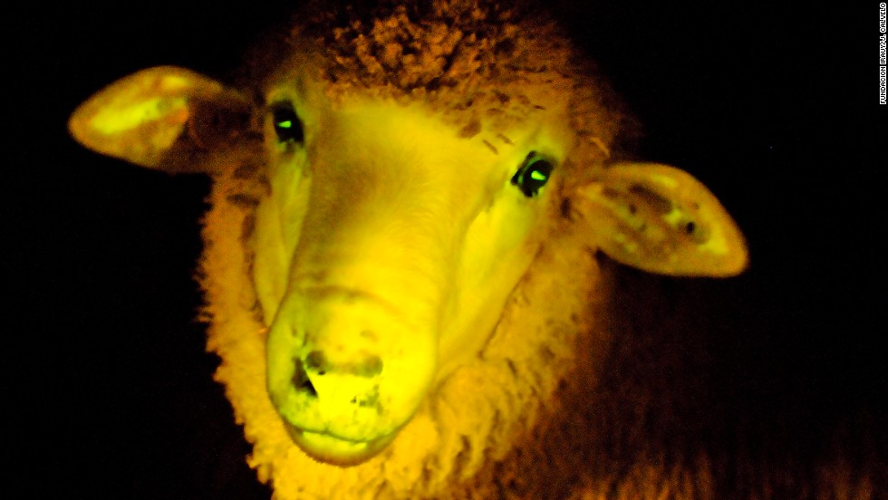 Scientists in Uruguay announced that they had genetically modified sheep such that the animals glow green in ultraviolet light.