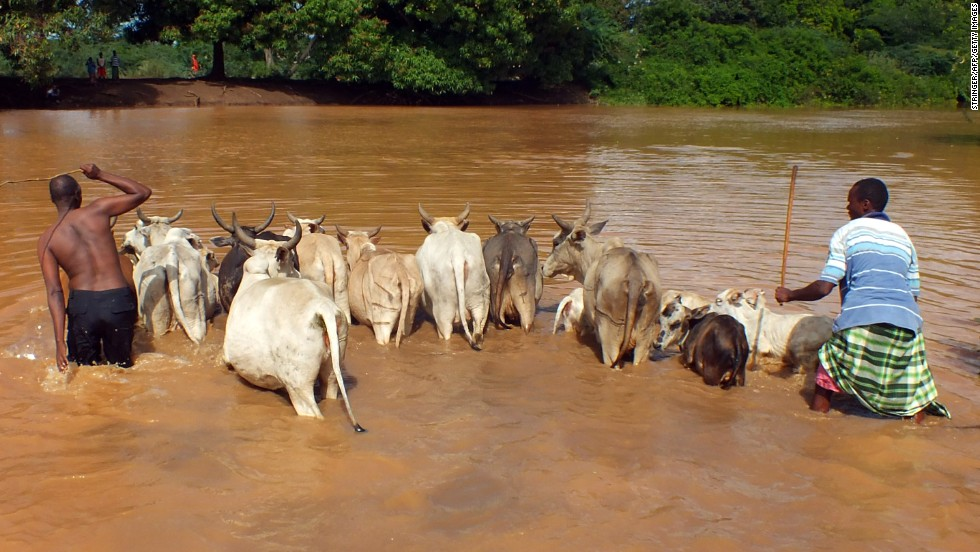Two men drive cattle across the crocodile infested Tana River in Keny'as Tana delton on May 3. Flooding from heavy seasonal rains has killed more than 60 people and forced tens of thousands of people from their homes.