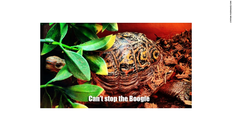 Rodriguez also has a 15-year-old Central American ornate wood turtle named Boogie.