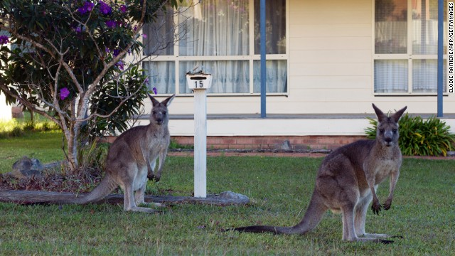 Eastern Grey Kangaroos are a common sight in the suburbs of Canberra, Australia's capital.