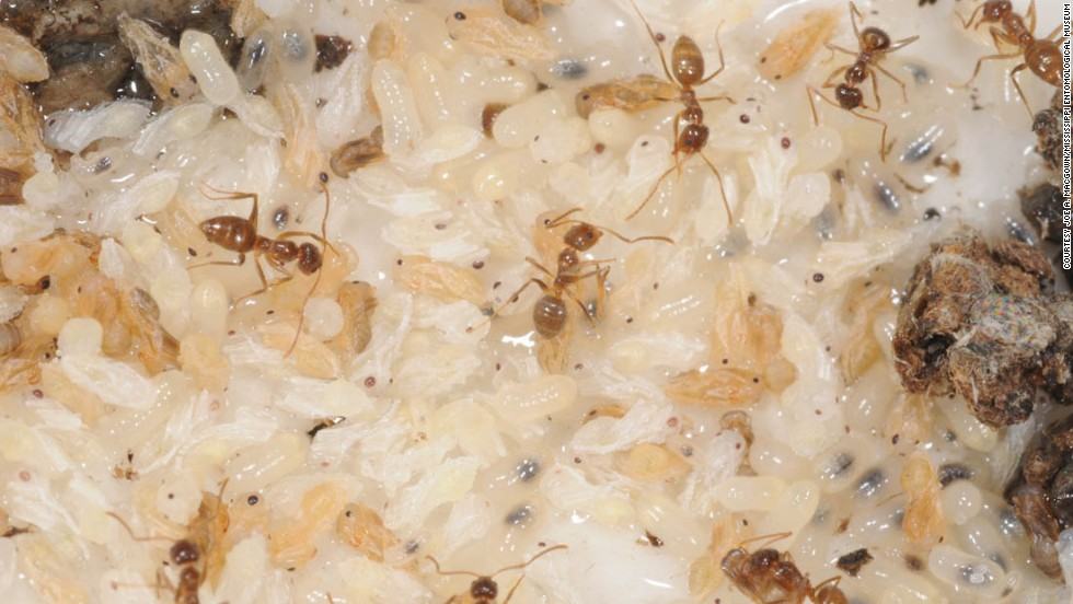 The crazy ants nest in walls, crawl spaces, house plants or empty containers in the yard, researchers said.