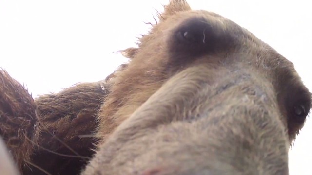 Grizzly Eats GoPro_00001610.jpg