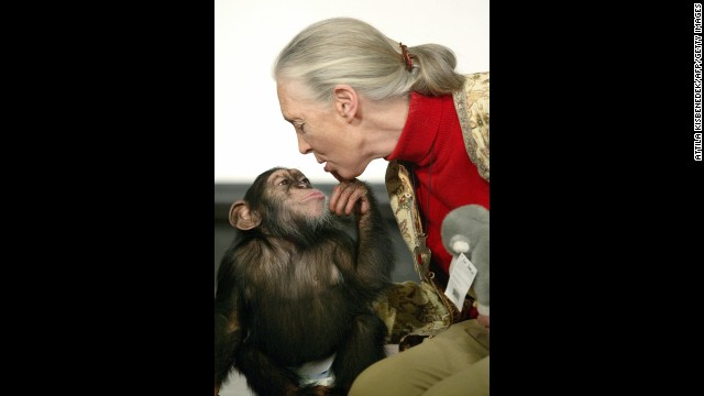 BUDAPEST, HUNGARY:  British primatologist Jane Goodall, the world's famous authority on chimpanzees, is kissed by Pola, a young chimpanzee, in Budapest' Zoo 20 December 2004. Goodall is a participant of the 'Roots and Shoots Foundation' meeting and adopted this young chimpanzee today. Goodall began her pioneering study of chimpanzees more than 40 years ago in Tanzania.       AFP PHOTO / ATTILA KISBENEDEK  (Photo credit should read ATTILA KISBENEDEK/AFP/Getty Images)