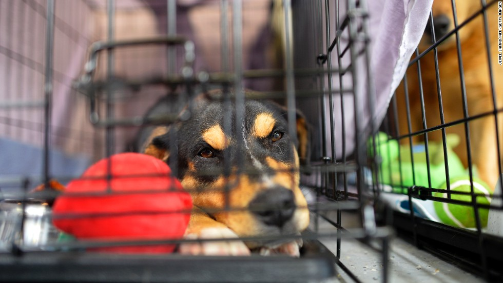 A dog rests in a cage at an animal shelter on May 23.