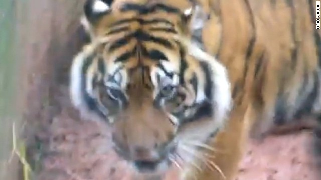 Amateur video shows a tiger inside the big cat enclosure at South Lakes Wild Animal Park.