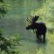 national parks grand teton bull moose