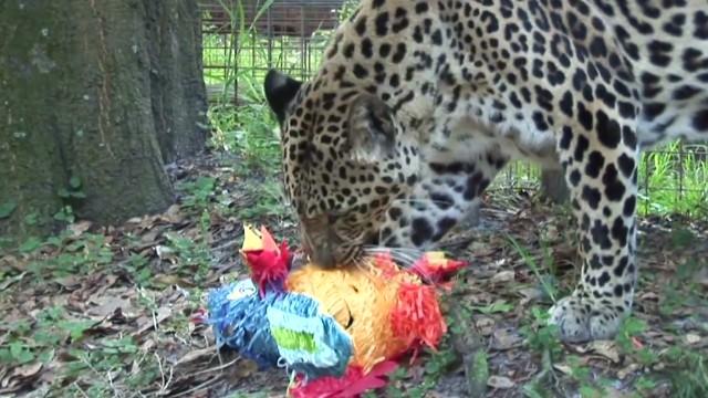 orig jtb distraction leopard vs pinata_00004822.jpg