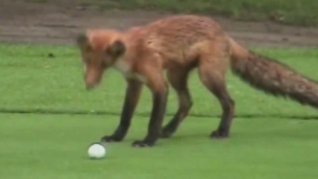 orig jtb distraction fox steals golf balls_00003809.jpg