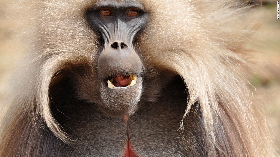 Gelada baboons are endemic to Ethiopia, with a population of up to 500,000. They are considered one of the most sociable of African monkeys and their harem-like social structure to be the most complex of all animals.