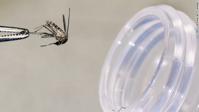 PHOENIX - AUGUST 5: A culex tarsalis female mosquito that was caught in a trap will be tested for the presence of the West Nile virus at the Arizona Department of Health Services laboratory on August 5, 2004 in Phoenix, Arizona. (Photo by Jeff Topping/Getty Images)