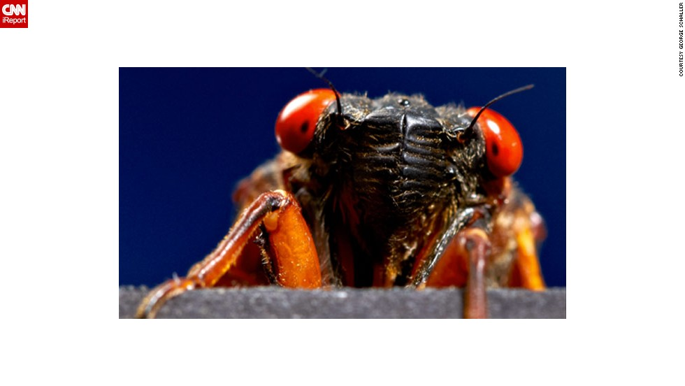 "Photographer George Schaller snapped this <a href=""http://ireport.cnn.com/docs/DOC-979802"">up-close photo of a cicada</a> in a studio in Wayne, New Jersey. Brood II, the variety being seen this year, was last spotted in 1996. (<a href=""http://ireport.cnn.com/open-story.jspa?openStoryID=979237"">See cicadas on a map</a>) Many things have changed since then, and some bugs got famous. Click through the gallery to see flying and crawling creatures that the 17-year cicadas might have missed."