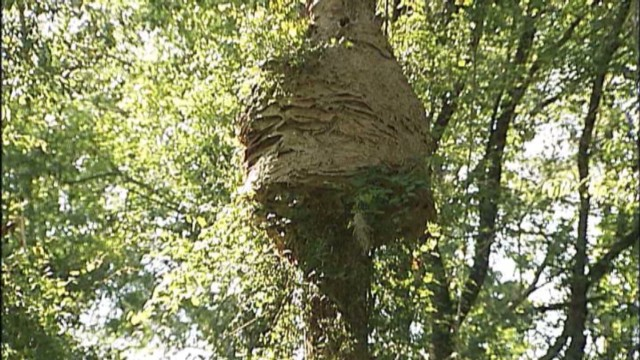 dnt giant hornet nest_00003007.jpg