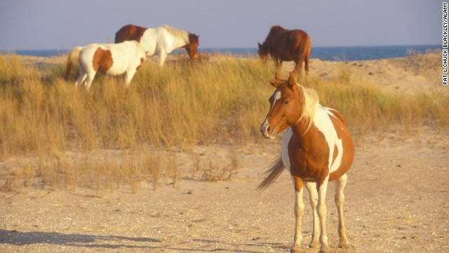 Chincoteague: wild horses could drag you there.