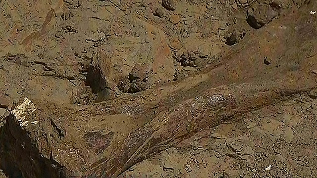Remains of 3 triceratops found