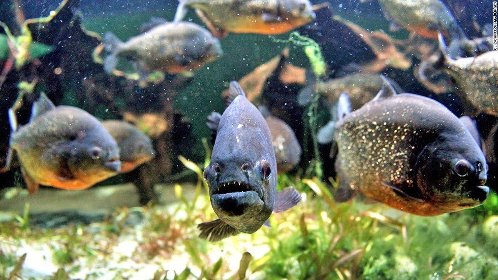 They do have nasty choppers that bite swimmers in rivers, but piranha don't strip them to the bone. That's a movie legend.