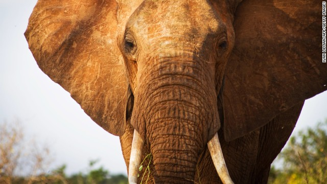 An elephant is pictured in  southern Kenya. Wildlife protection groups say the number of African elephants killed for their tusks is the highest in decades, in part because of increasing posterity and demand for ivory in China.